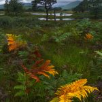 Autumn ferns and Scots pine at Loch Tulla