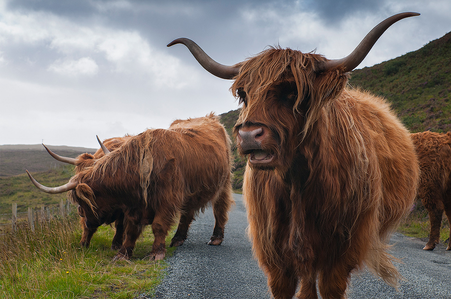 Długowłose highlandzkie krowy