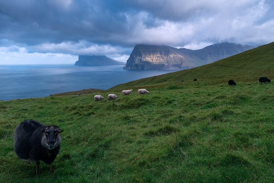 Owce pasące się na Wyspach Owczych